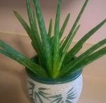 Aloe Vera / The aloe is low maintenance with health benefits.