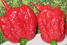 Big List of Hot Peppers! / A comprehensive list of hot chili peppers! Visit CayenneDiane.com for even more info. I'm adding many more hot peppers to this list!