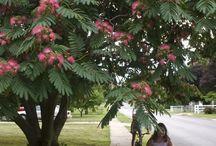 Selyemakác /Mimosa tree