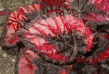 Plants - Bergonia