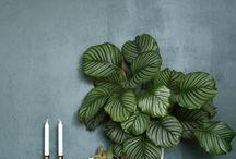 catsafe plants