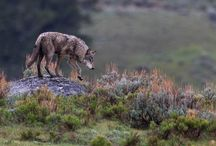 wolf....ish...