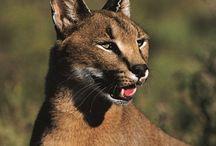 African Wildlife / Africa's finest!