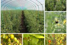 Rosii 2015 - Tomatina / Rosiile din gradina Tomatina aproape gata de a fi savurate!