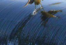 Πάπια κάνει surf