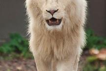 LES LIONS!