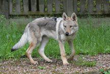 Czechoslovakian Wolfdog Agar Wolf valley