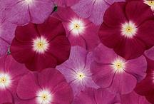Best Cottage Garden Flower Seeds