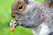 Animals-Mammals: Squirrels / collection of cute or funny squirrel photos / by VickiandJoey Froelich