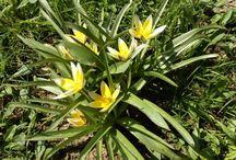 Tulipán pozdní (Tulipa tarda): Václav Kovalčík, Zlín / na jarním slunci nádherně kvetou (duben 2018).