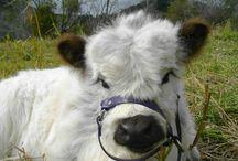 Miniature Cows•