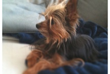 Pixel My Yorkie / All about my spunky, two-pound Yorkie. My tiny muse. My smile maker.