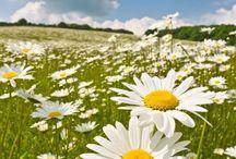 Pasta de flores Margarida
