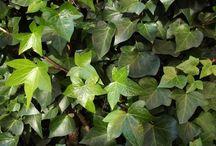 Plantas trepadoras de clima frío