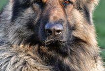 Shep doggies