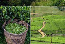 La culture du thé / Produit de terroir et de tradition, la culture du thé est un art à part entière !