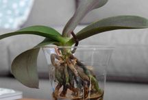 Phalaenopsis growing in water