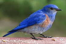 one of my favorites the bluebird