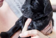 Flatcoated Retrievers / Photos of our Izzy, a Flatcoated Retriever, as she grows from a puppy