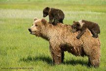Reino animal osos cafés es