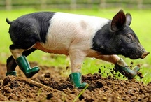 Oink Oink / Libby loves piggies so I collect pictures for her / by Annette Baker