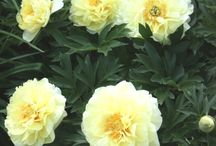 """PDN  2015 Peonies / We will continue to expand our listing of peony plants for sale with new plants from our trials. Peony bushes are great flowering perennials that gardeners from the northern states know well. In the south, we cannot grow the large variety of lactiflora peonies that they can in the north, but we can grow Tree peonies, Itoh hybrids, and woodland peonies, so we cannot complain too much. Peonies are long-lived hardy perennials with huge 5-10"""" wide flowers that come in a wide range of colors."""