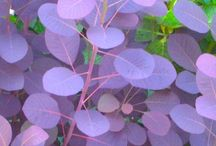 112 Cotinus Coggygria Royal Purple