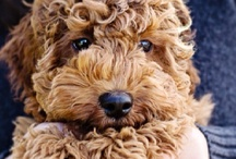 My love of Goldendoodles