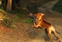 Odin Tosa Inu / Tosa Inu Dog Breed