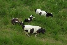 Vaches à Saint Germain en Laye / Venir les découvrir avec vos amis ou votre entreprise ? Contactez-nous !