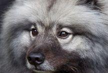 keshond vlci spic