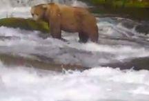 Alaska Bear cam
