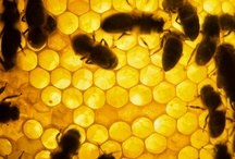 Honeybees & Honey /  interesting facts about honey and honey bees