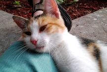 Calico Cats / Calico cats are always female. They have little multicolored patches against their white fur. Male calico cats are rare to none | calico cats | calico cats facts | calico cats long haired | calico cats shorthair | calico cats tortoise | Calico Cats are Always Female | CALICO CATS | Calico Cats |