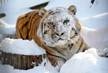 Cool Cats / by Crown Ridge Tiger Sanctuary