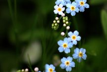 forget me not flower -unutma beni çiçeği