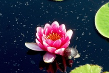 Nymphaeaceae / When you have only two pennies left in the world, buy a loaf of bread with one, and a water lily with the other.  ~Chinese Proverb   / by Jennifer Henderson