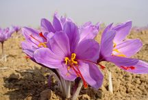 Kashmir Saffron / Our new Venture in producing Organic Saffron for export Working directly with the farmers giving them a better life and better margins for their products.
