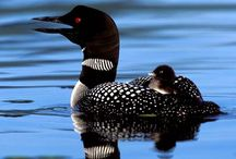 Loon Preservation   / by Patty Russes