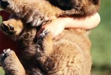My Future Puppies Gatsby & Mr Chow