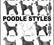Standard Poodles!!
