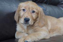 Golden Retriever Puppy / The Best Puppy Pics