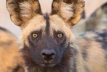 Wilde hond