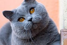 British shorthair / by nika Bee