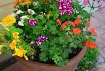 Edible Flowers / Eat the pretties!