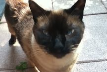My cat my life / Gatto thai