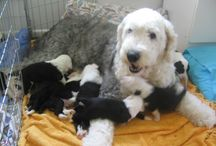 OLD ENGLISH SHEEPDOGS / Annabelles Puppies  Ottaba breed