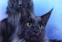 maine coon cats !