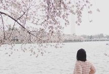 Cherry Blossoms / Cherry Blossoms in DC