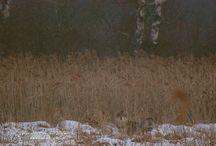 Spotkanie z wilkami / Dziś rano wilk przebiegł mi drogę. Kiedy chwyciłem za aparat i pobiegłem za nim, to się okazało, że to cała wataha (przynajmniej 4 wilki). Zacząłem im robić zdjęcia i… w tym momencie zawiódł operator, bo zapomniałem, że mam ustawione… manualne ustawianie ostrości. Więc pozostały emocje i kilka nieostrych zdjęć… Do następnego spotkania :)